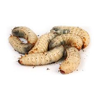 larve de cetoine